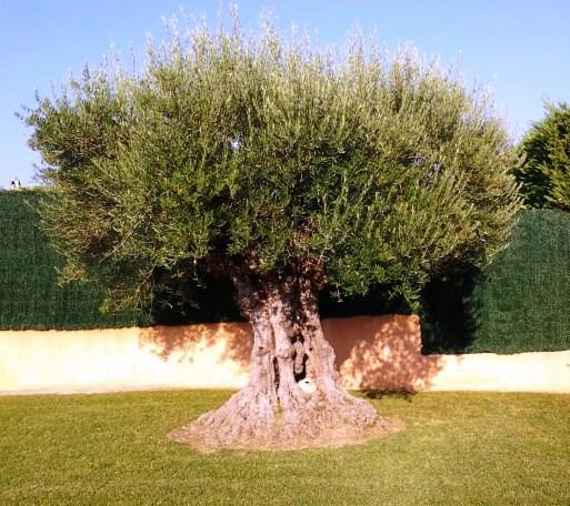 olivo costa brav